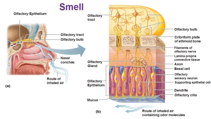 smell-olfaction-epithelium-cilia-olfactory-sensory-neurons-and-basal-cells